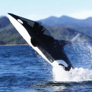 Le bateau baleine
